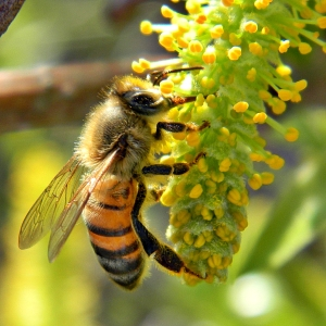 Honey_Bee_on_Willow_Catkin_(5419305106)