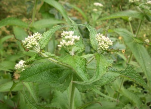 Boneset, a plant that reduces fevers and stimulates the immune system.