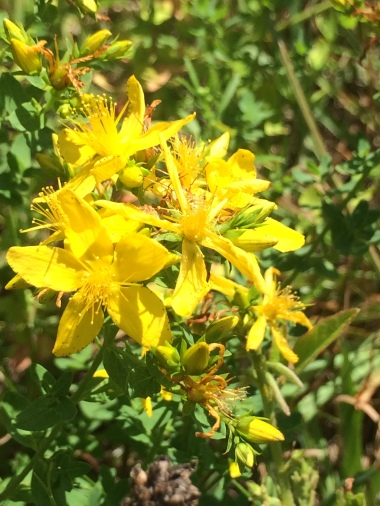 Hypericum perforatum with big flowers little leaves.