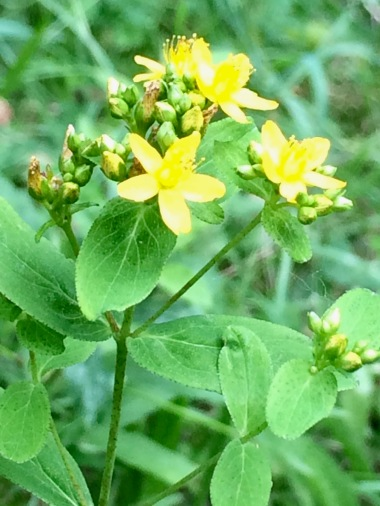 Hypericum punctatum with little flowers and big leaves.